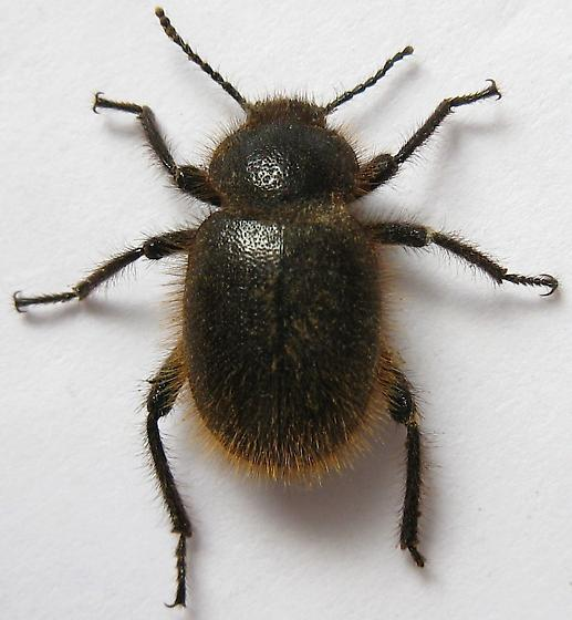 Wooly Darkling Beetle - Eleodes osculans