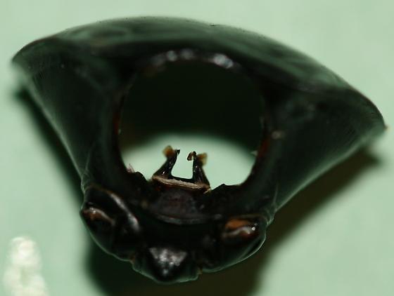 Beetle Thorax