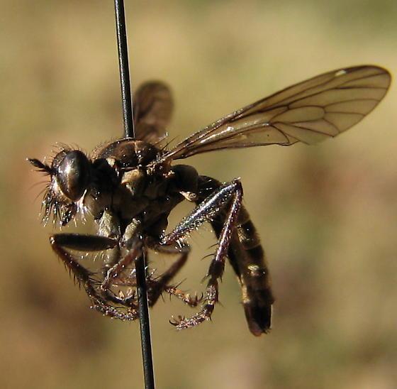 Lasiopogon fumipennis - female