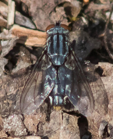 Gray-striped fly