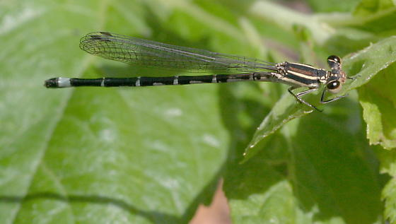 Seepage Dancer - Argia bipunctulata - female