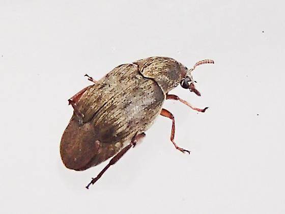 Pea and Bean Weevil? - Bruchidius terrenus