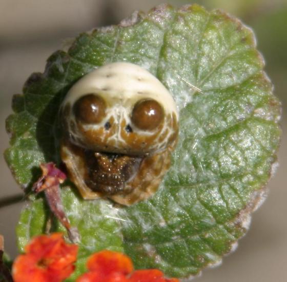 Bolas spider, dorsal view - Mastophora leucabulba