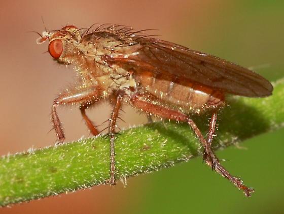 Dung Fly ? - Scathophaga furcata