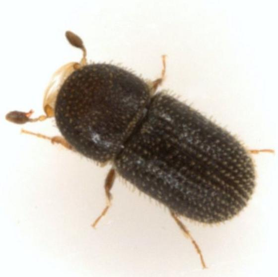 Pseudothysanoes turnbowi Wood - Pseudothysanoes turnbowi - male