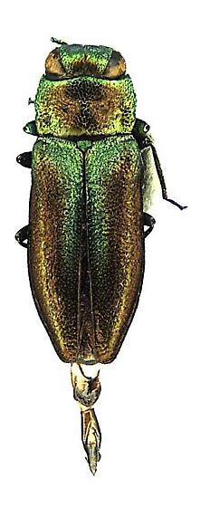Anthaxia (Haplanthaxia) cyanella Gory - Anthaxia cyanella - male