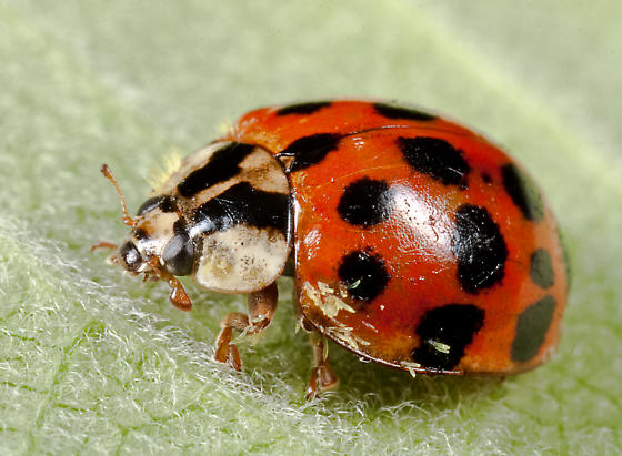 Ladybug with