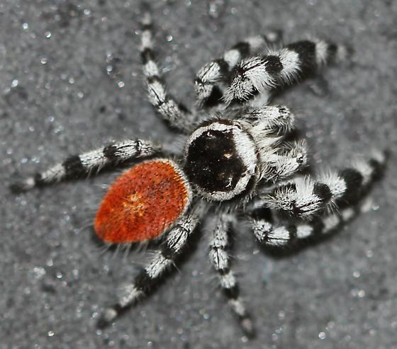 Colorado Jumping Spider - Phidippus tyrrellii