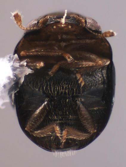 Cybocephalidae - Cybocephalus nipponicus - male