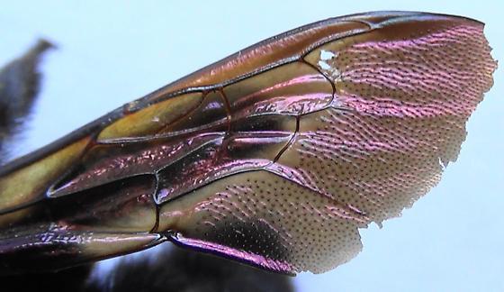 Mrs. Neoxylocopa (wing) - Xylocopa varipuncta - female