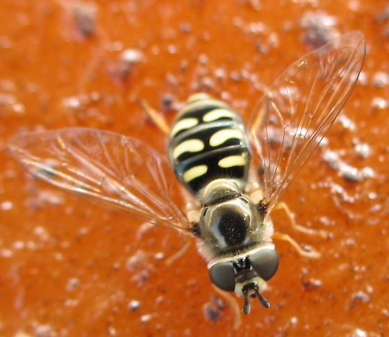 Syrphini - Eupeodes volucris