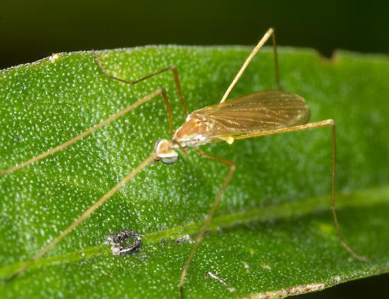 Erioptera - Erioptera vespertina - male