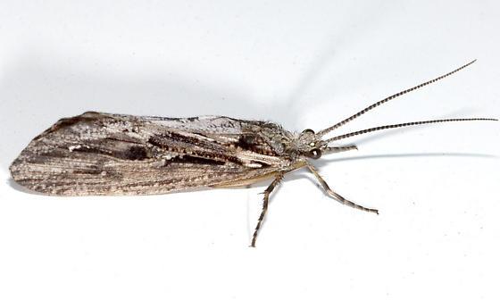Caddis Fly - Phryganea