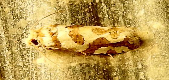 Pelochrista bolanderana Moth observed 9-8-2020 11:27 pm southwest Hamilton County, Texas