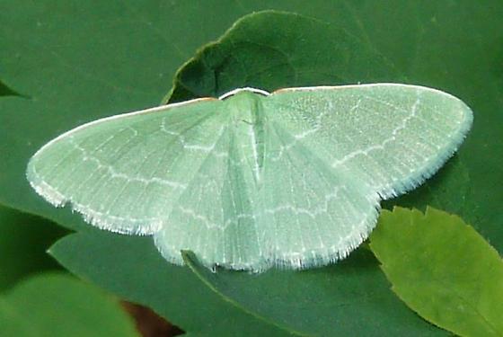 Synchlora aerata – Wavy-lined Emerald Moth - Synchlora aerata