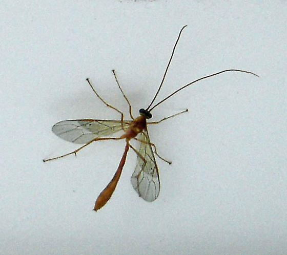 One more Ophion-like wasp - Enicospilus
