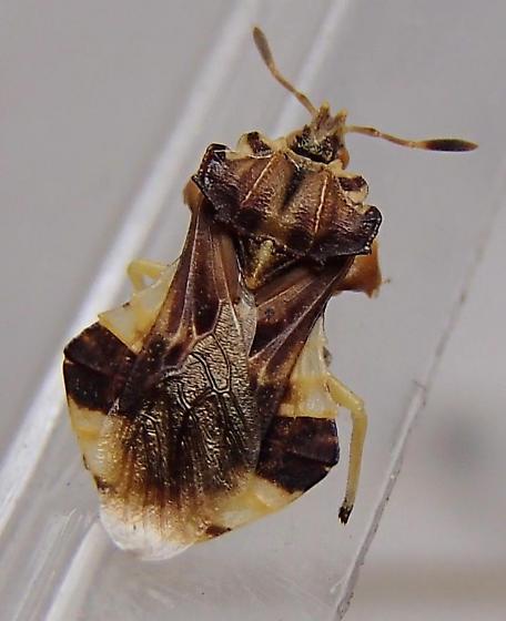 Phymata fasciata mystica? - Phymata fasciata