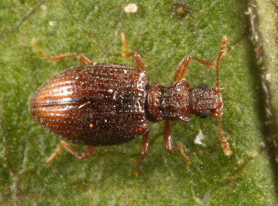 beetle - Stephostethus liratus