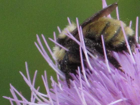 Bumble bee observed foraging on a thistle. - Bombus fervidus