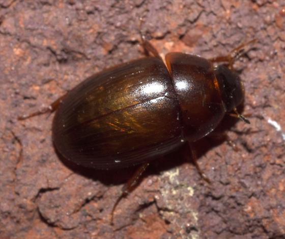 Small, brown beetle - Helocombus bifidus