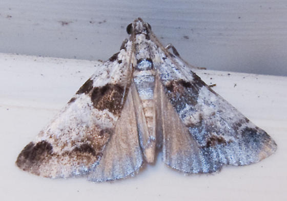 Unidentified Moth 3 - Tallula atrifascialis