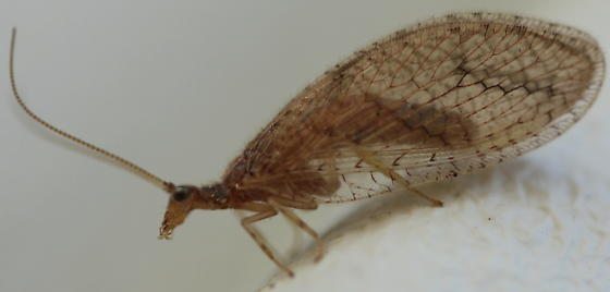 Hemerobiidae - Micromus posticus