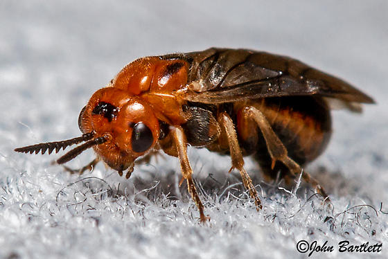 Conifer Sawfly
