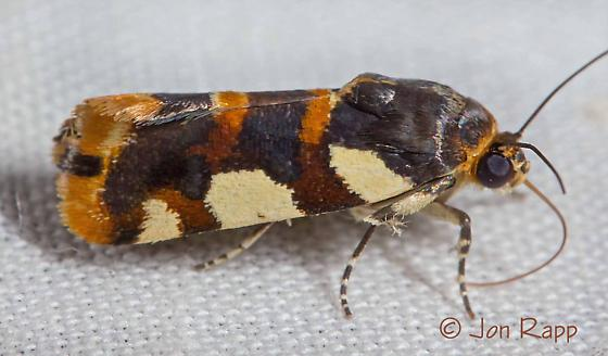 Southern Spragueia Moth - Spragueia dama