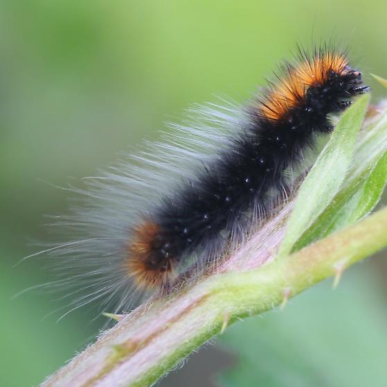 Arctiidae - Arctia virginalis