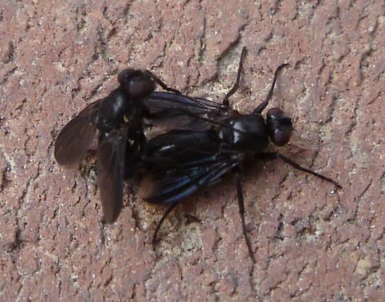 mystery black fly - Melanophora roralis - male - female