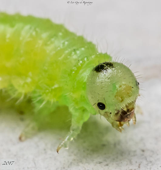 Hymenoptera.