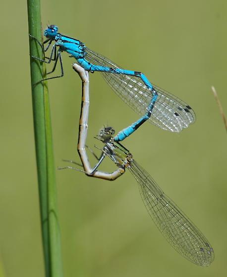 Northern Bluet - Enallagma annexum - male - female