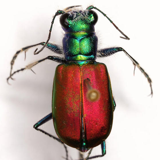 Cicindela scutellaris scutellaris Say - Cicindela scutellaris