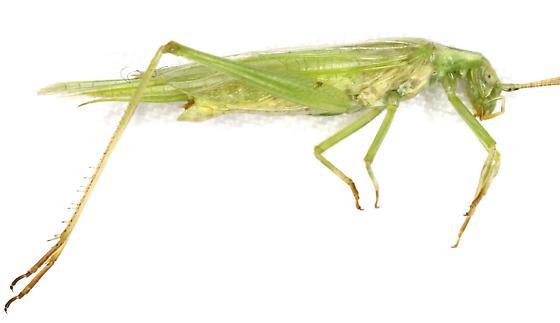 Oecanthus Nigricornis Group? - Oecanthus celerinictus - male