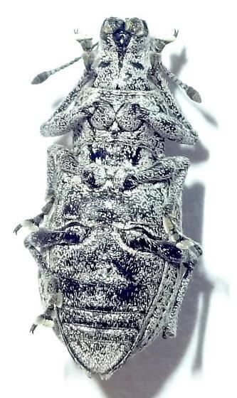 Grey Beetle - Ericydeus lautus