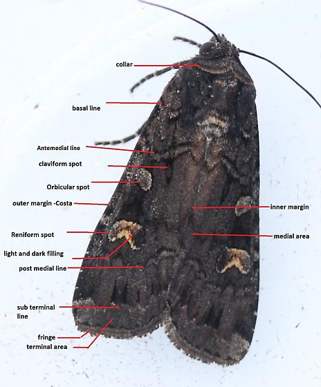 Basic moth identification features