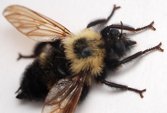 bee-like robber fly - Laphria thoracica - male