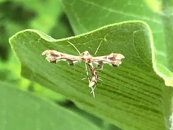 Plume moth on Asclepias syriaca - Grape Plume? - Geina periscelidactylus