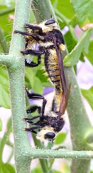 Mallophora? mating, with snack - Mallophora fautrix - male - female
