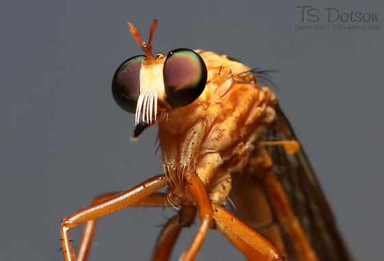 Robber Fly - Diogmites neoternatus - Diogmites neoternatus