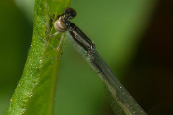 Tiny damselfly - Ischnura hastata