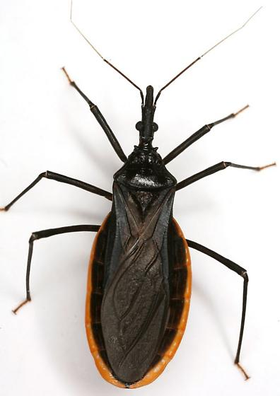 Triatoma protracta (Uhler) - Triatoma protracta