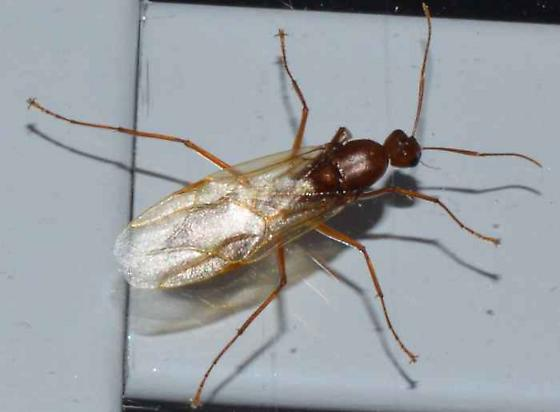 ? - Camponotus castaneus