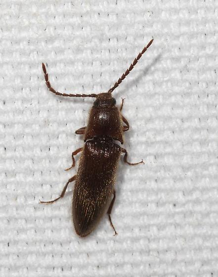 Click Beetle at lights - Dipropus