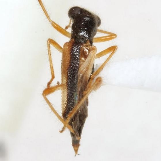 Phyllobaenus chapini Wolcott - Phyllobaenus chapini