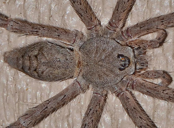 really big spider - Dolomedes albineus