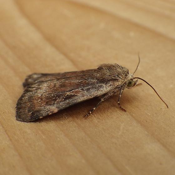 Noctuidae: Cryptocala acadiensis - Cryptocala acadiensis