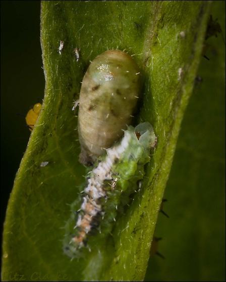 Syrphidae, Syrphid Fly, Pseudodoros clavatus,(Larva and Puparium), I believe? - Dioprosopa clavata