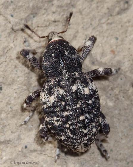 Weevil walking on the ground - Gerstaeckeria porosa