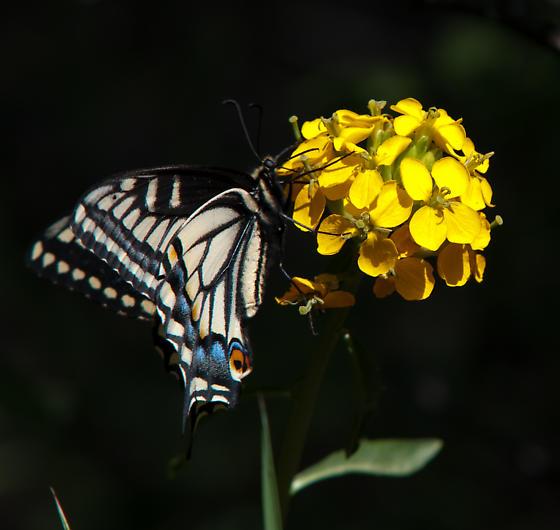 Swallowtail - Papilio machaon - male